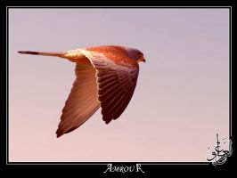 kestrel by AMROU-A