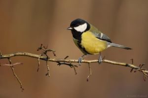 Great tit by Holasek