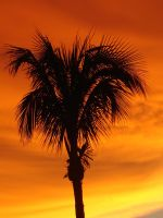 Florida Palm in the Sunset by Hersha281