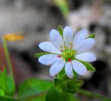 Chickweed flower by floramelitensis