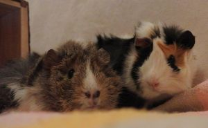 Guinea pigs together Sami and Coco by Lazuli23