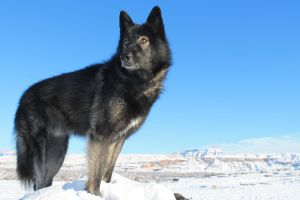 Black Wolf In Snow 2 by Vinanti