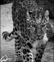 Amur leopard walks to my life by woxys