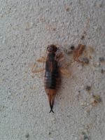 Another Earwig by Drhoz