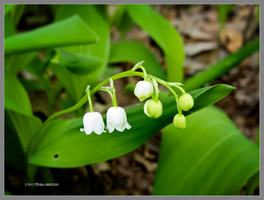 Lily of the valley by Mogrianne