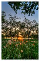 Dandelion Sunset by Julian-Bunker