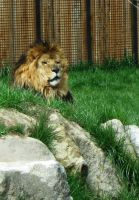 Lion 3 -- Aug 2009 by pricecw-stock