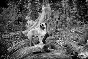 King of the Bristlecone Stump by Feeferlump