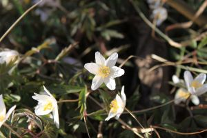 Wood anemone by AlmetosDon