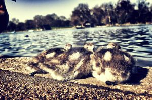 Baby Ducks at Hyde Park in London by TheLovingKind89