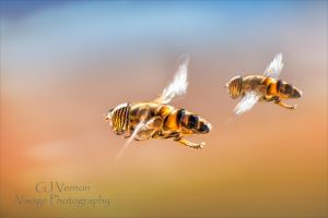 Tandem Hoverflies by GJ-Vernon