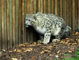 Snow Leopard 3 -- Aug 2009 by pricecw-stock