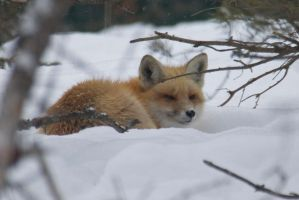 red fox by jsimon526