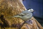 Wagtail by NellyGrace3103