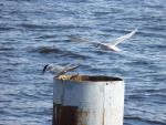 Terns by Rasylver