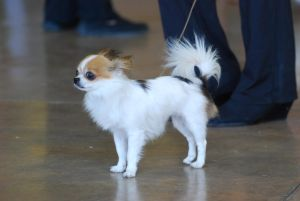 Longhaired Chihuahua 2 by xxtgxxstock