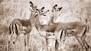 Impala Herd by SheetalVPhotography