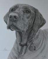 Commission - Red Labrador 'Avery' by Captured-In-Pencil