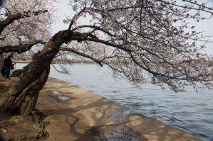 Cherry Blossom Festival 021 by FairieGoodMother