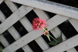 The flower and the fence by Newway12