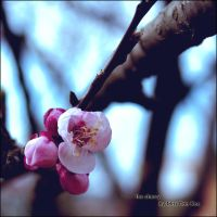 The Cherry by kharax