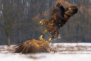Eagle Fight by VirtualWords