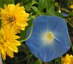 Blue Glory and Yellow Flowers by JocelyneR