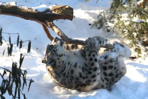Snow Leopard Stock 44 by HOTNStock