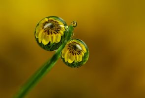 Dew Drop Refractions 2 by Alliec