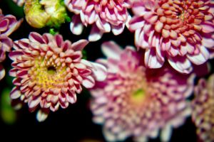 Macro shot of mums at night... by drewii57