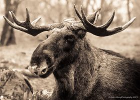 The Mighty Moose by AndersStangl