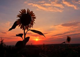 Sunflower at sunset by lica20