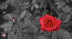 Red Rose by dps-Aerion