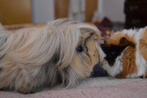 my guinea pigs by Adeea92