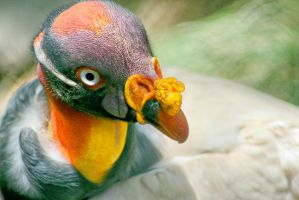 King Vulture Close Up by Kippenwolf