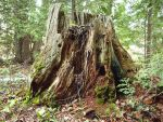 Old Tree Stump 3 by AllStock
