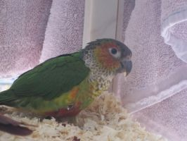 Black Capped Conure by Shortwinger