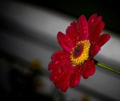 Gerbera by Mizth