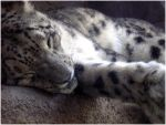 Sleeping Snow Leopard by Sugargrl14