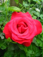 Twirrely red rose by Tap-Photo-and-Co