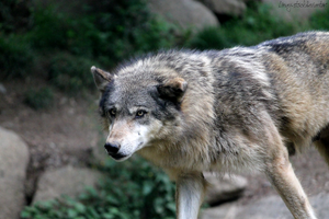 Wolf 13 by Linay-stock
