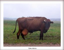 Latvian cow by Sanchesss