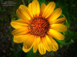 yellow flower by adunio-photos