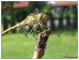 Dragonfly by schnegge1984