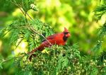 Northern Cardinal 2 by camara13