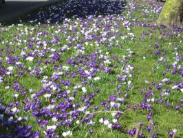 11-03-11 Crocuses by Herdervriend