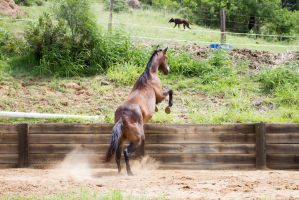 KM brown showjumping view behind by Chunga-Stock