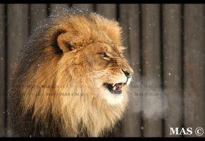 African Lion_0089 by MASOCHO