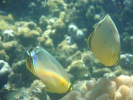 Oval Butterflyfishes by FooDusty