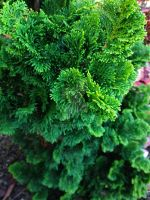 Dwarf Hinoki False Cypress by Bwabbit